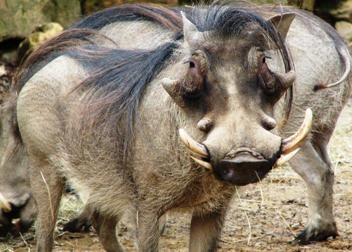 Warthog in masai mara