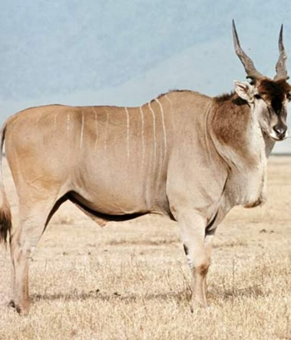 Eland in Nakuru