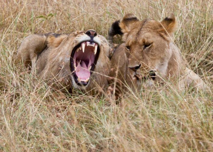 Lion in Amboseli