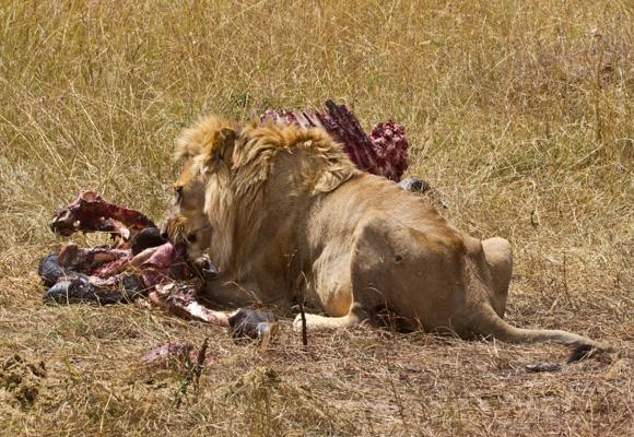 Lion at samburu