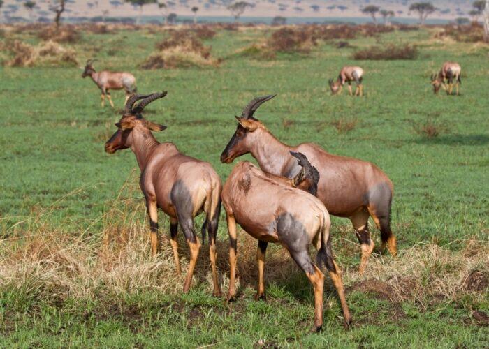 Topi at Masai mara