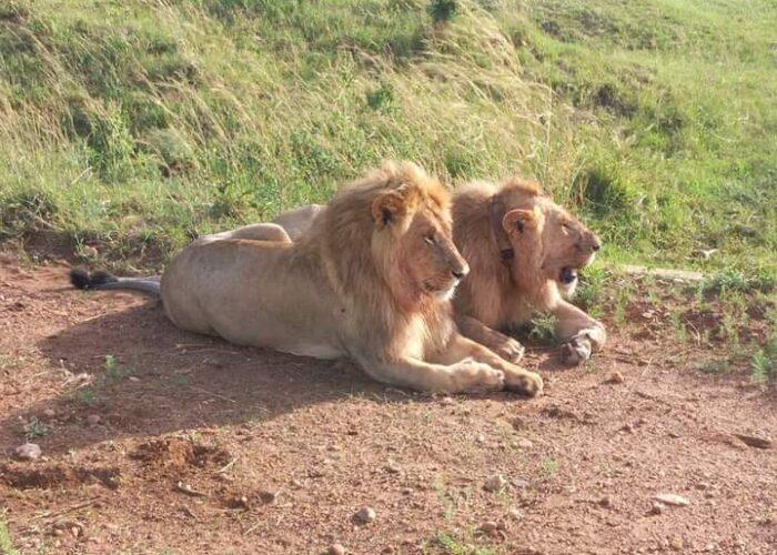 lions in Lake Nakuru
